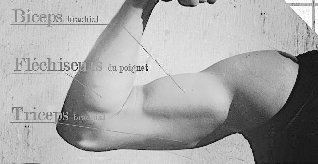 Anatomie du bras mybigbang