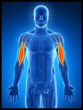 Les biceps mybigbang 1